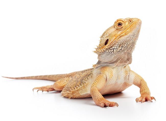 Le pogona vitticeps classiques possède des couleurs brun/gris quand le pogona hypo zero est tout à fait blanc