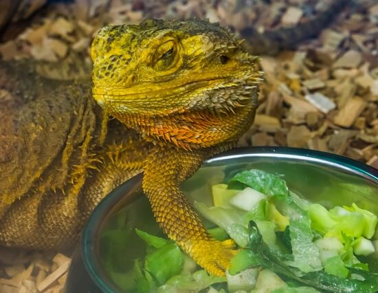 Pogona adulte qui mange dans son bol de végétaux