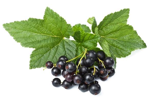 Le cassis est l'un des rares fruits recommandés dans l'alimentation du pogona, quel que soit sa race