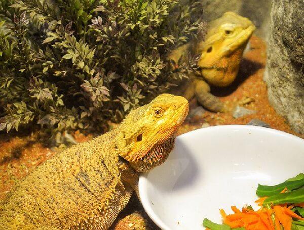 Deux pogonas peuvent cohabiter dans un terrarium à raison de deux femelles.