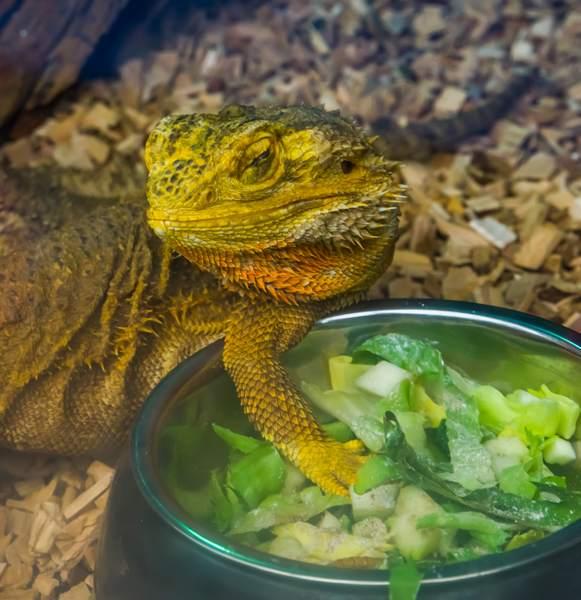 Pogona adulte à proximité de sa gamelle de nourritures (végétaux)