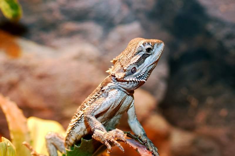 Jeune pogona (pogona juvénile) qui grimpe au plus haut dans son terrarium