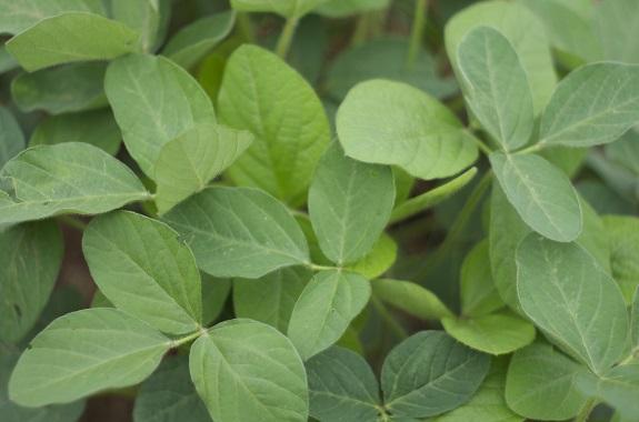 La luzerne est un végétal idéal pour l'alimentation des pogonas