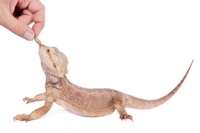 Pogona juvénile qui mange un petit grillon proposé par une main