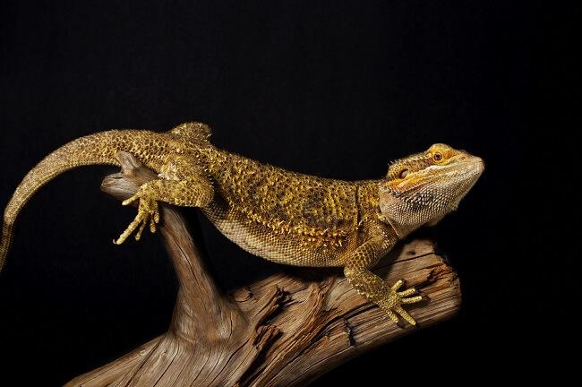 Pogona posé sur une branche dans son terrarium