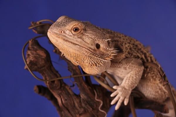 Pogona adulte sur une branche dans un terrarium