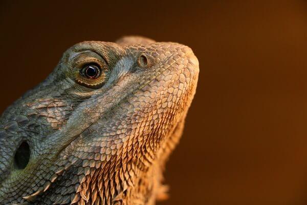 Pogona vitticeps adulte agressif : comment réagir ?